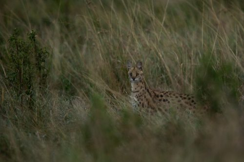A serval appears out of nowhere