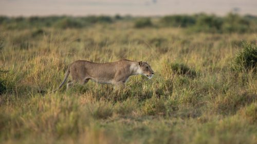 A lioness in action