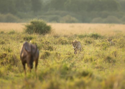 A lioness stalking a topi