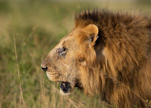 A profile of a male lion