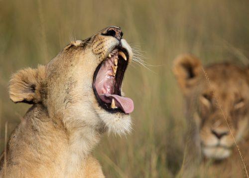 Lioness mid yawn