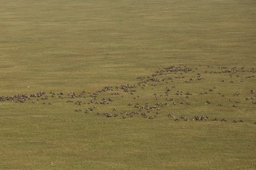 Impressive herds gathering in the plains