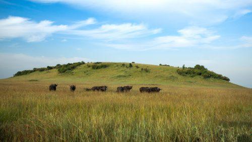 Nine buffalo bulls minding their own business