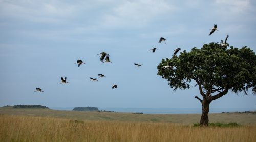 White storks set off on their migratory path