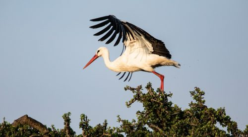 A white stork sets off in flight