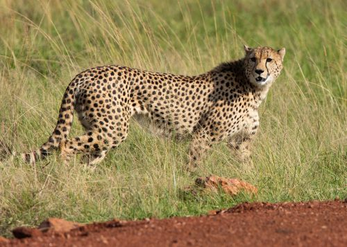 A lone cheetah in search of prey