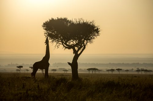 A giraffe reaches for the tall branches of a tree in the early morning light
