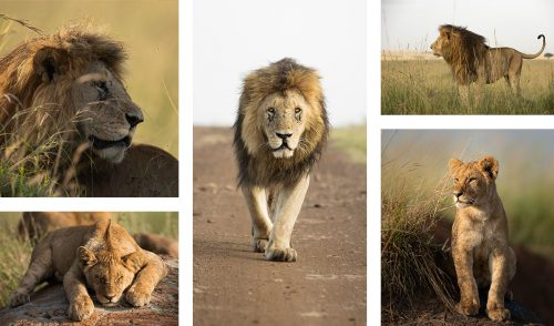 The Sausage Tree Pride Cubs and Slitlip male from the Inselberg coalition