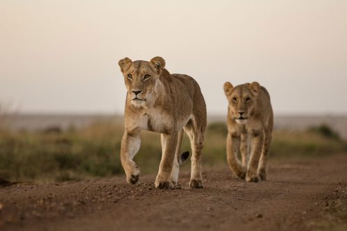 The 'Swamp Lioness' leading her daughter