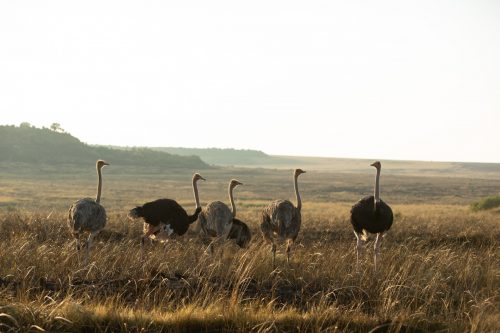 A small group of ostriches enjoying the burnt area