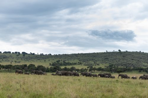Elephant herds this time of year are plentiful