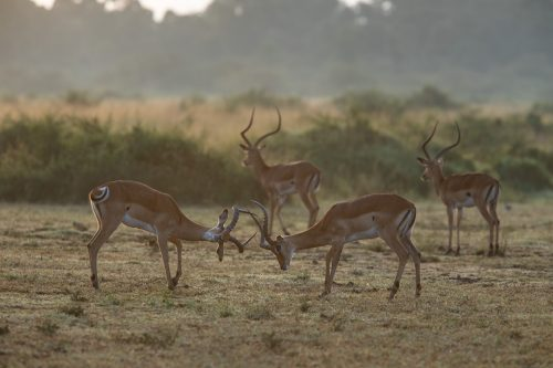 Two young impala rams battling it out