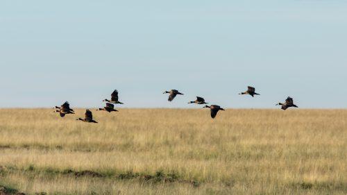 Whistling ducks in flight