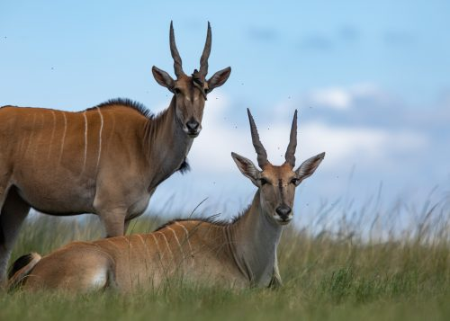 Eye-level with a couple of unusually relaxed eland