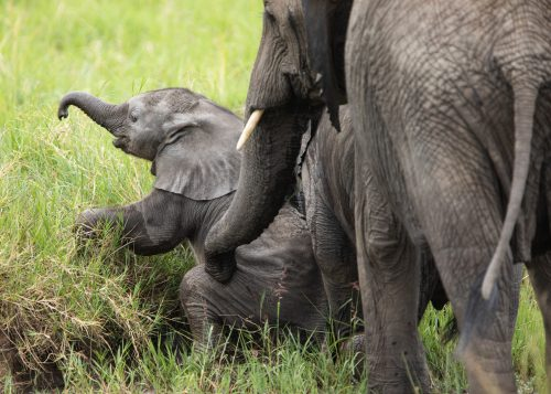 An elephant mother helps her youngster back onto its feet