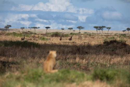 A member of the Owino Pride looks out across the burnt grasslands towards a herd of topi.
