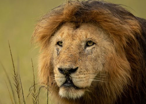 A male lion known as