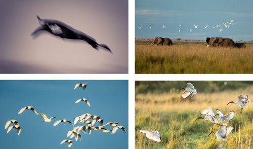 Some of the wonderful birds of the Mara - Sacred Ibises, stork in slow motion flight, open-billed stork (abstract) and egrets in flight