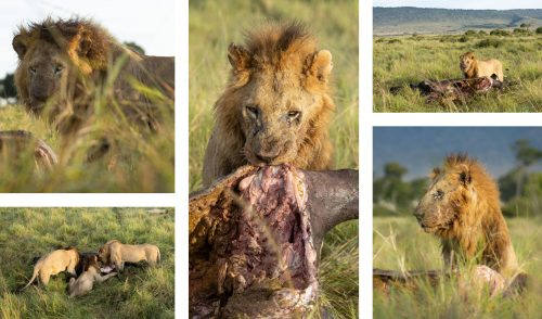 Various angles of the Bila Shaka male lions feasting on a buffalo