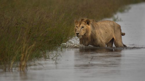 Mkia, the half-tailed male wades through the water that was following down the main escarpment road a year ago