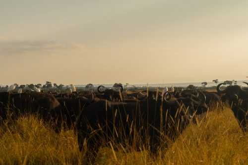 A resident buffalo herd – and a few hitchhikers
