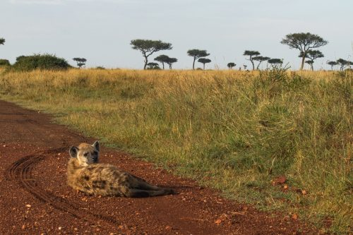 Hyena in repose