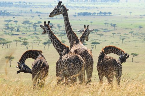 A tower of giraffes, or should we call it a symmetry?