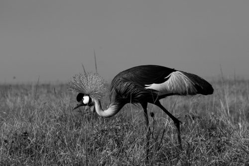 A grey-crowned crane on a hunt of its own