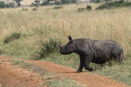 A baby rhino closes in on its mother's heels