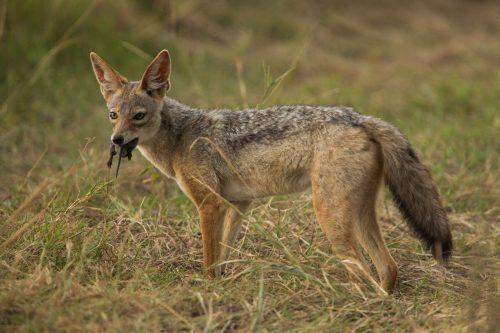 Black-backed jackal with rat