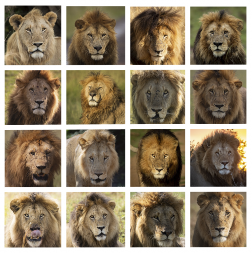 Some of the lovely male lions of the Mara Triangle
