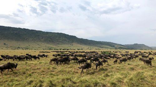 The wildebeest migration in full swing