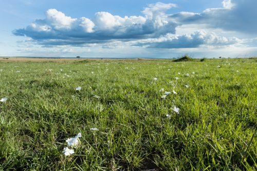 Locally nicknamed the 'Toilet Paper Flower' these beautiful white flowers are springing up across the recently burnt area