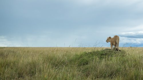 A lioness from a pride I am completely unfamiliar with – one of the two females that I found whilst exploring the southern parts of the Mara River along the western bank