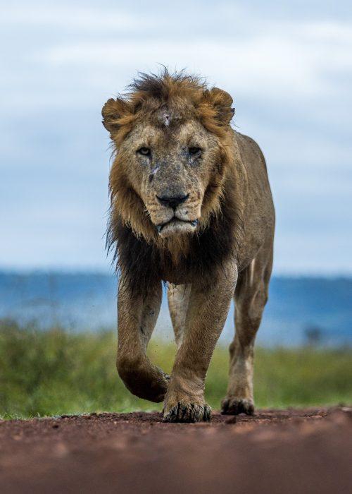 Kibogoyo shows off his battle scars