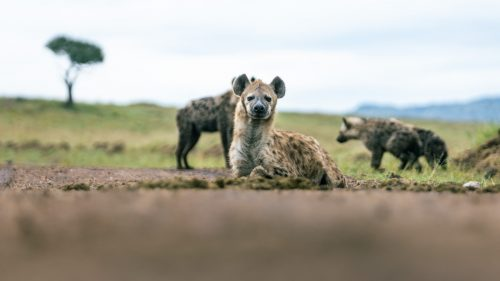 A relaxed family of hyenas