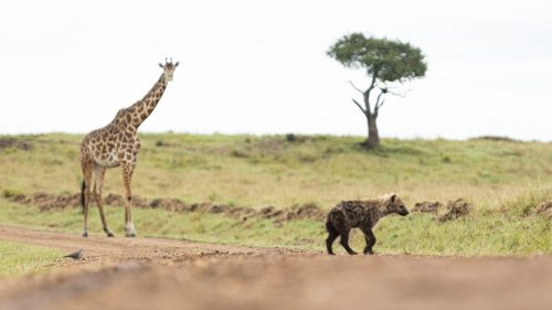A ring-necked dove chasing a young hyena across the road