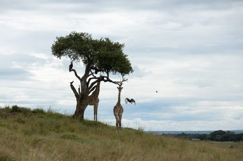 A family of southern ground hornbills having a meeting with a few giraffes