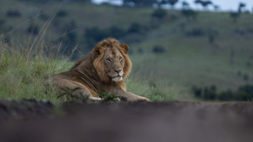 Olalashe, is currently one of the best-looking male lion in the Mara Triangle
