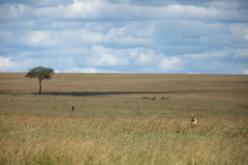 A male cheetah pokes his head up above the grasses as he looks for his next meal