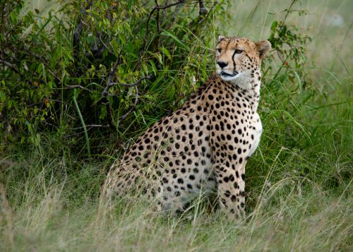 A young male cheetah, known as Mkali, found in the area around Talek Gate.