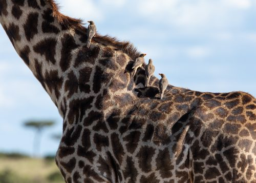 A small flock of yellow-billed oxpeckers enjoying a ride on the back of this giraffe