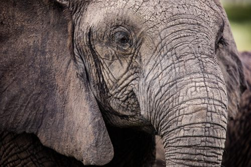 One of the elephants in the Mara born without tusks