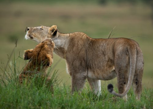 Delicate and intimate bonding time between sisters of the Angama Pride