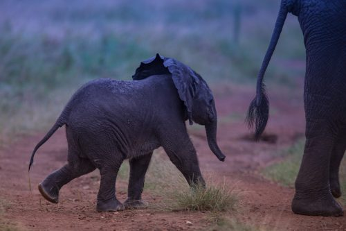 A delightful sighting of a new born baby elephant