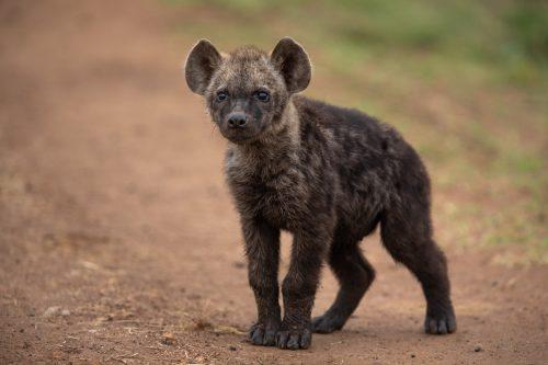 An inquisitive hyena pup