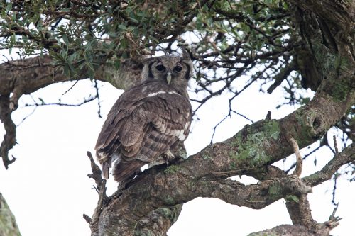 A Verreaux's eagle owl hiding in the shade of a tree