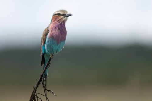 Lilac-breasted roller poses in a small twig