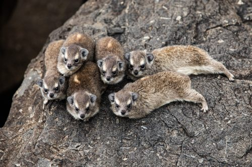 A cuddle puddle of hyrax babies