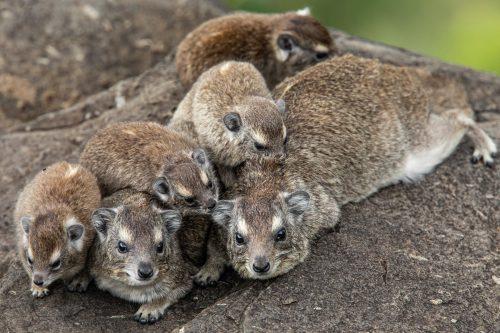 Angama Mara's resident hyrax family